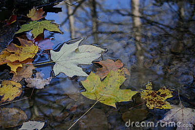 Autumn leaf floating on surface of water