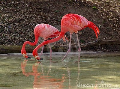 Duo Flamingos