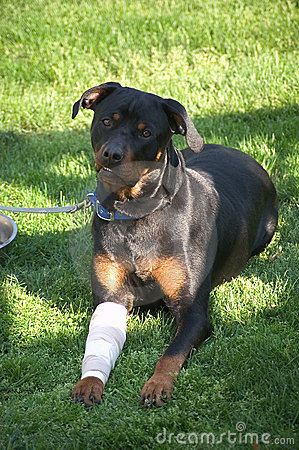 Smiling Dog with Bandaged Leg