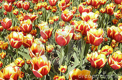 Riot of Tulips