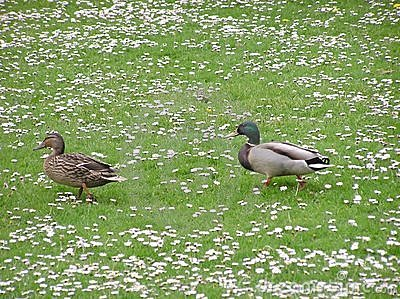 Ducks In Daisies