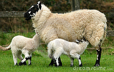 Breast Feeding Hungry Lambs