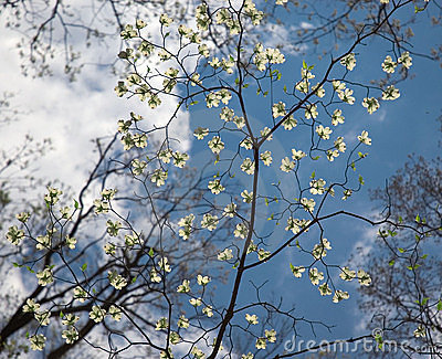 Delicate Dogwood Tree Flowers