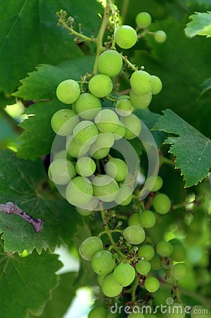 A grape is a fruit, botanically a berry, of the deciduous woody vines of the flowering plant genus