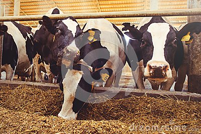 Cow farm concept of agriculture, agriculture and livestock - a herd of cows who use hay in a barn on a dairy farm
