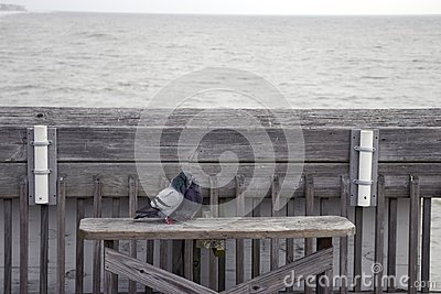 Folly Beach South Carolina, February 17, 2018 - two pigeons sitting on a bench on fishing pier kissing each other