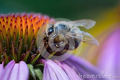 Honey Bee On Echinacea Cone Flower. Close-up
