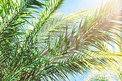 Long Spiky Feathery Branches of Palm Trees on Bright Blue Sky Background. Golden Pink Peachy Pastel Sunlight. Tropical Foliage