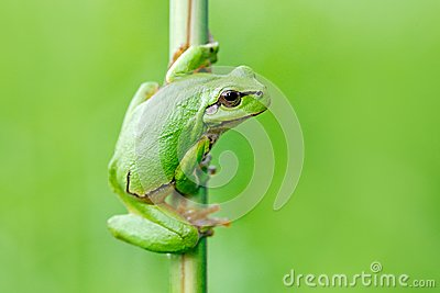 European tree frog, Hyla arborea, sitting on grass straw with clear green background. Nice green amphibian in nature habitat. Wild