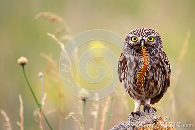 The little owl sits on a stone with a centipede in its beak.
