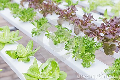 Hydroponics system greenhouse and organic vegetables salad in farm for health, food and agriculture concept design