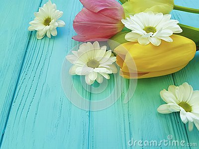 Beautiful tulips of chrysanthemum bloom celebration season background greeting mothers day , on a blue wooden background