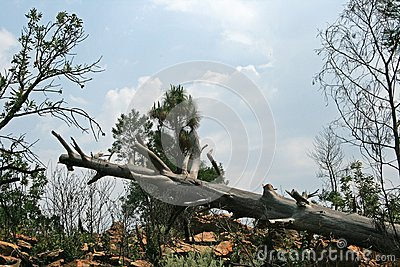 FALLEN TREE TRUNK WITH BRANCHES TRIMMED
