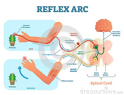 Spinal Reflex Arc anatomical scheme, vector illustration, with stimulus, sensory neuron, motor neuron and muscle tissue.