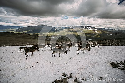 Pack of Norwegian Reindeer on a snow patch
