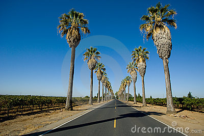 Road lined in Palm Trees