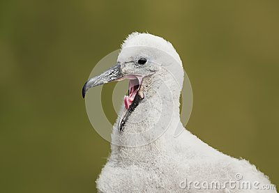 Close up of a young Black-browed Albatross chick calling