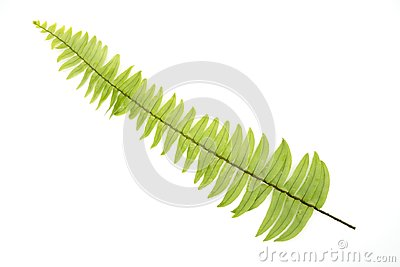 Closeup Green fern leaf with water droplets isolated on white background