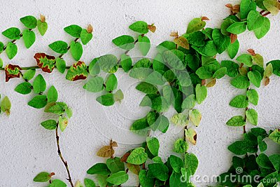Ivy green leaf on the white concrete wall