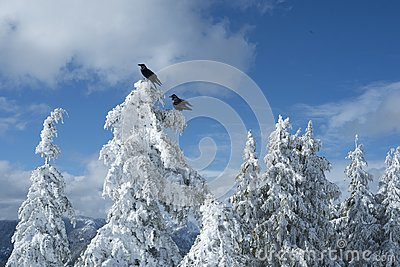 Two black crows or ravens on snow covered trees in winter scene on top of Dog Mountain on Mount Seymour