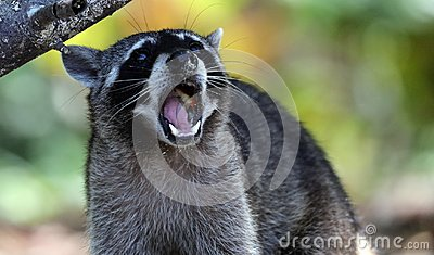Wild angry raccoon in the jungle of Costa Rica waiting for food