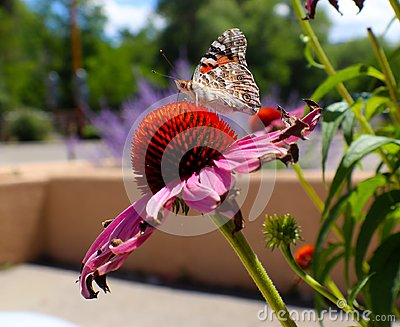 Monarch butterfly on Pink Daisy in front of adobe wall and lavender