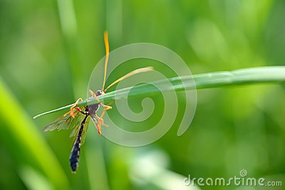 Close-up of a Brown-orange colored wasp Ammophila Ichneumonidae Netelia, clinged to a blade of grass