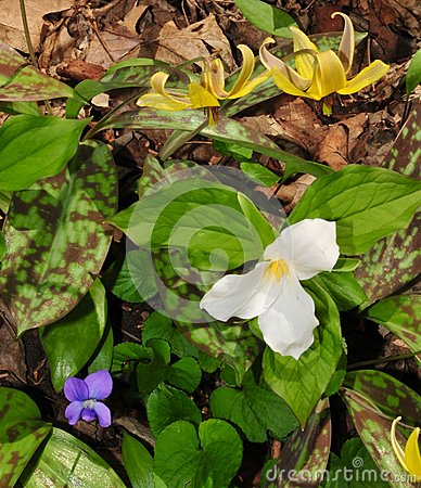Colorful assortment of spring wildflowers including white trillium, blue violet and yellow trout lily