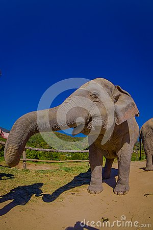 Gorgeous outdoor view of beautiful huge elephant in a gorgeous sunny day with blue sky stretching the trunk asking for