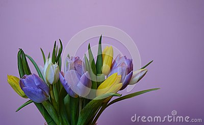 bouquet flower tulip pink background spring multicolors