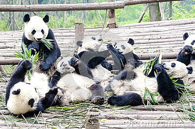 Panda Bear Cubs eating bamboo, Panda Research Center Chengdu, China