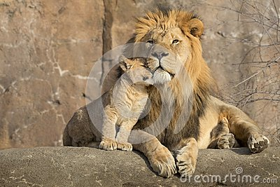 Male african lion is cuddled by his cub during an affectionate moment
