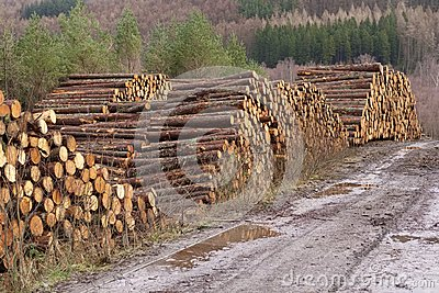 Stacked wood chopped trees trunks pile in forest woodland wilderness for biomass fuel CHP