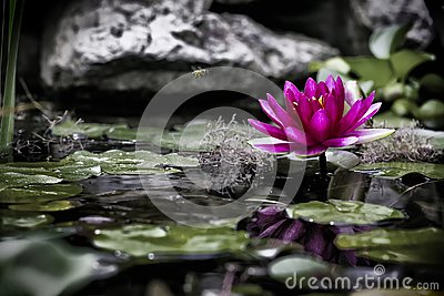 The small world of a pond and a pink water lily
