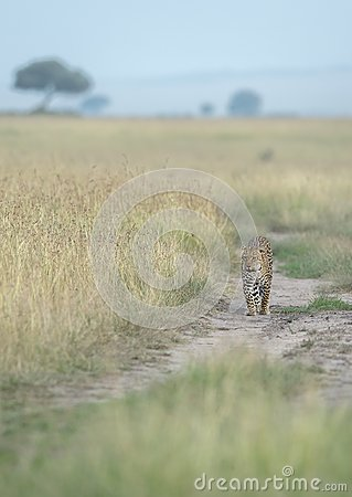 Leopard stolling in search of food  at Masai Mara National Park in evening hours