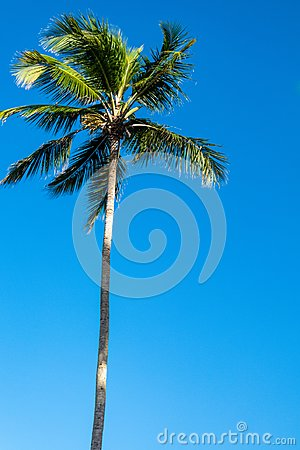 A single tropical palm tree against a blue sunny sky