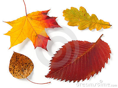 Four autumnal leaves
