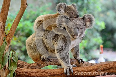 Mother koala with baby on her back