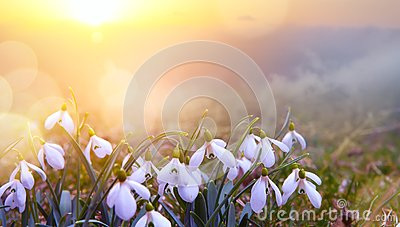 Abstract nature spring Background; Snowdrop spring flower