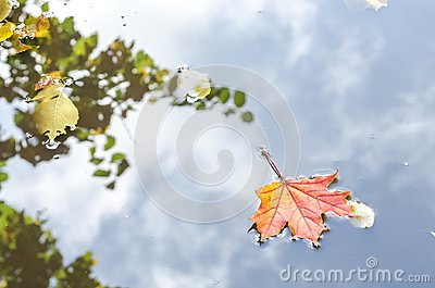 Autumn maple leaves. the leaf of the maplelies on the pond`s water surface