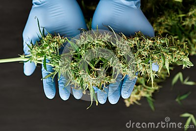 A large bud of fresh cannabis harvest in the hands of a Doctor medical worker concepts of cultivating grow medical