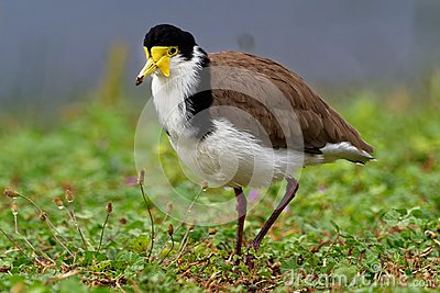 Vanellus miles - Masked Lapwing, wader from Australia