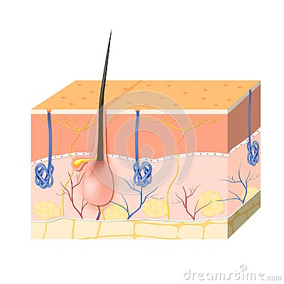 Skin layers with sebaceous gland and sweat glands
