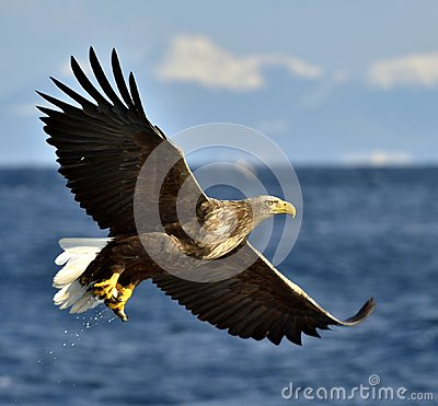 Adult White-tailed eagle in flight.  Scientific name: Haliaeetus albicilla, also known as the ern, erne, gray eagle, Eurasian sea