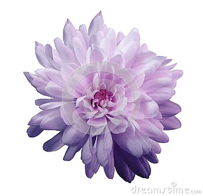 Chrysanthemum violet-pink. Flower on isolated white background with clipping path without shadows. Close-up. For design.