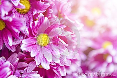 Pink daisy flower with morning flair light background,
