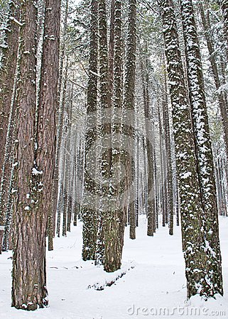Snowy beech and pine forest in late winter, Sila National Park, Calabria, southern Italy