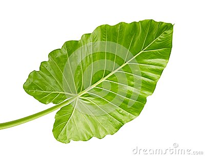 Alocasia odora foliage Night-scented lily or Giant upright elephant ear, Exotic tropical leaf, isolated on white background
