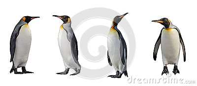 King penguins isolated