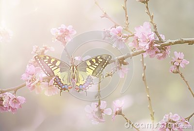 Papilio machaon in Blossom